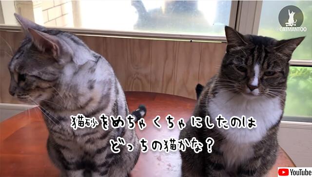 飼い主さんこいつです。猫砂を散らかしたのはどっち?に対する2匹の猫の反応