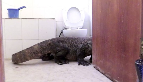 バスルームの扉開けたら巨大なコモドドラゴンかよ!しかも置き土産残していったよ!(インドネシア)