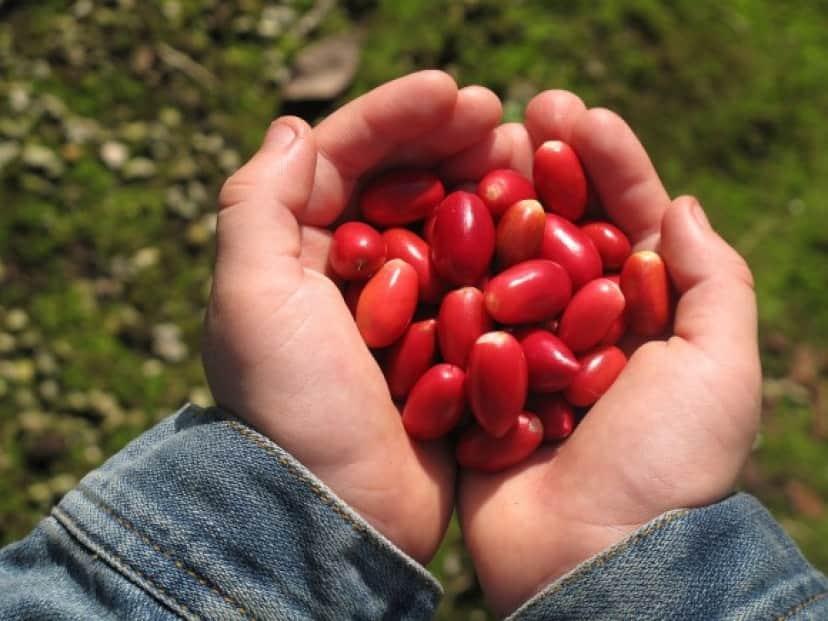 1280px-Berries_-_Miracle_Fruit_Farm_e
