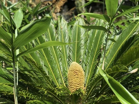 温暖化の影響で植物が長い眠りから目覚める。イギリスで6000万年ぶりにソテツの雄花と雌花が開花(イギリス)