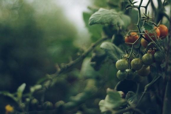 tomato-4474174_640_e