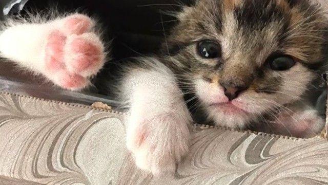 元保護子猫のシャネルさん、うっかり隠れ家でお昼寝中に飼い主たちが大捜索を行っていた模様