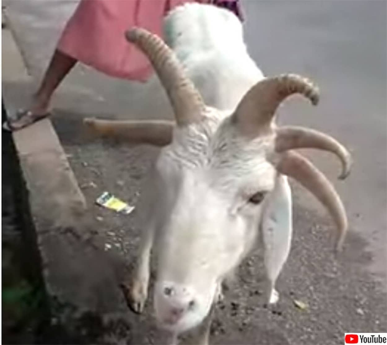 5本角の羊が市場に登場
