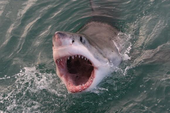 ホホジロザメが最も恐れているシャチ。その姿をみただけでビビって退散してしまうことも(米研究)