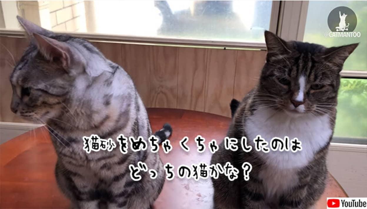 散らかしたのはどっちの猫?飼い主の問い詰めに対する猫の反応