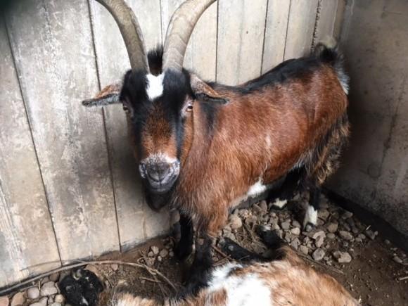 捨てられていた2匹のヤギ。1匹はすでに亡くなっていた。もう1匹は亡きヤギに寄り添い、離れることを断固として拒んだ