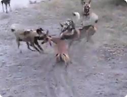 野犬がインパラを群れで捕食する...
