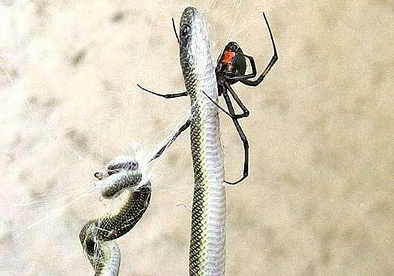 south_african_spider_catches_and_eats_the_snake_640_01_e