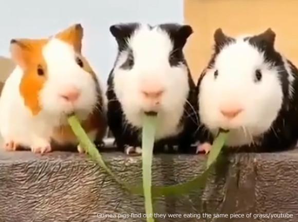 3匹のモルモットの両端が同じ草を食べていたことが発覚。さあ、この後どうなる!?