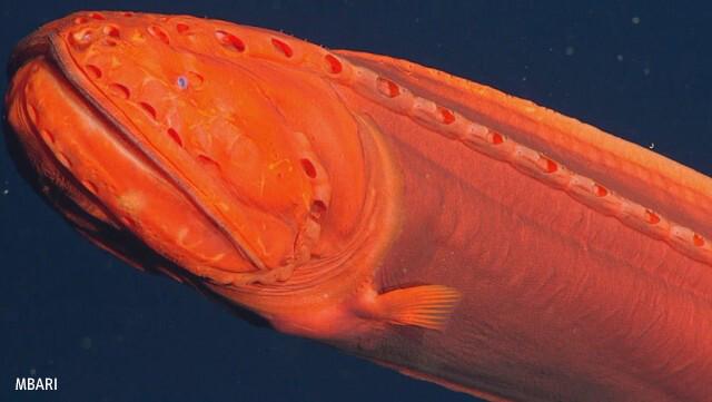 科学者を100年間混乱させた変身する深海魚の撮影に成功