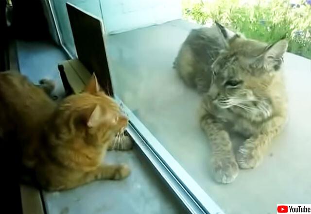 窓越しで友情を育んでいるっぽい飼い猫とオオヤマネコ