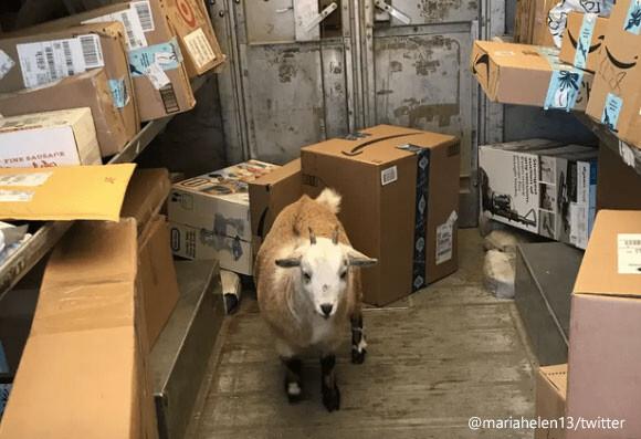 お手紙食べたい?ヤギが配達トラックに侵入するという珍事が勃発(アメリカ)