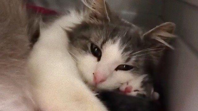 耳の聞こえない母猫、人間の手を借りて懸命に子育てする