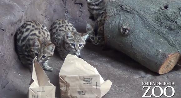 紙袋と虫に夢中、クロアシネコの3匹の赤ちゃんの続編映像が届いたよ(米フィラデルフィア動物園)