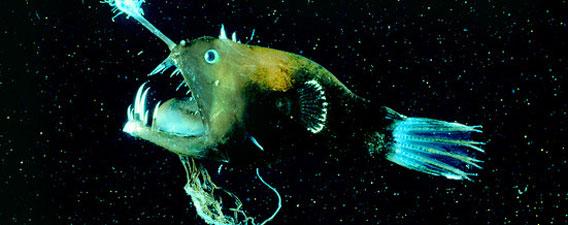 深海生物「アンコウ」のスペックが凄すぎる!(ただしメスに限る)