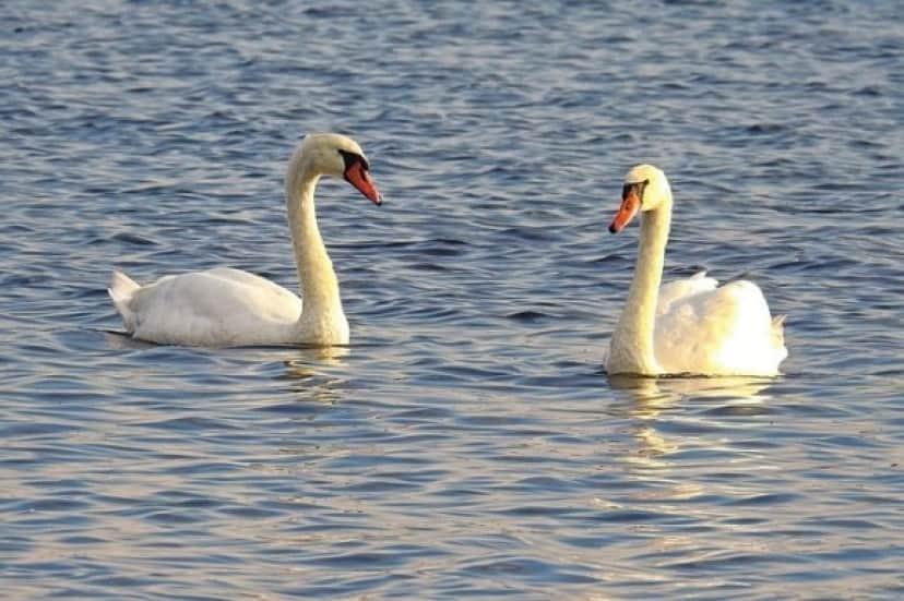 swans-1746695_640_e