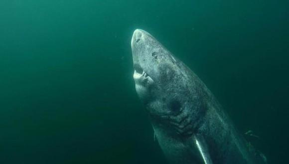 推定年齢512歳。世界最高齢の脊椎動物とされるサメが北大西洋で発見される