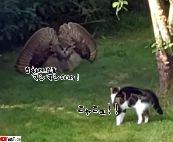 フクロウ対猫