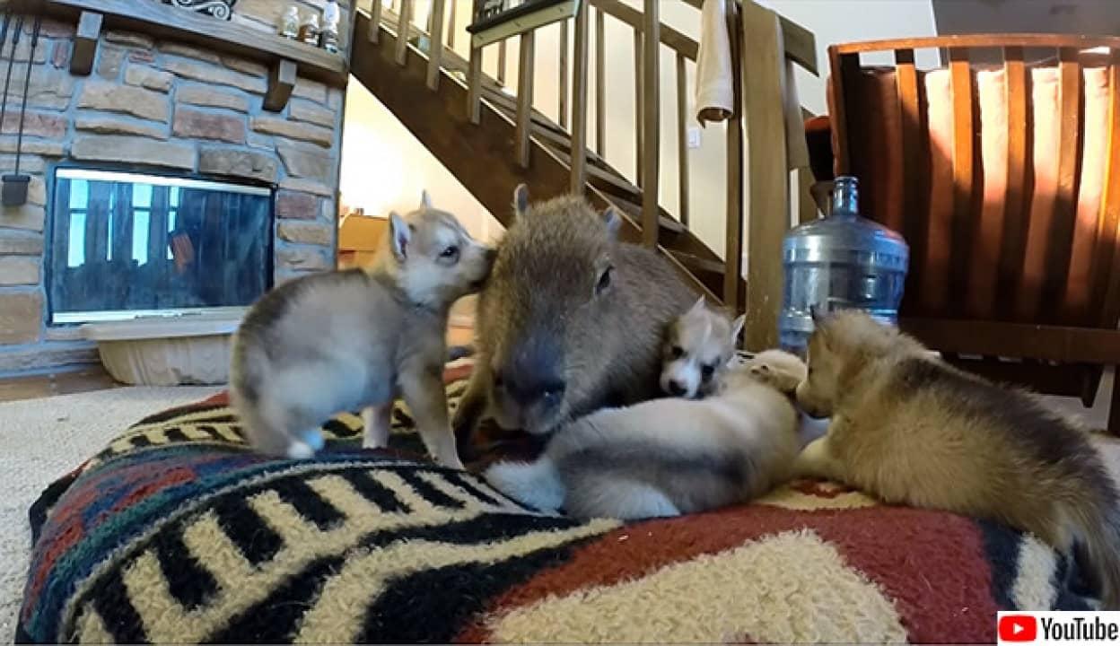 和み。カピバラがハスキーの子犬たちを辛抱強くお世話中