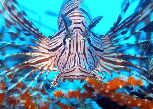 Lion-Fish1