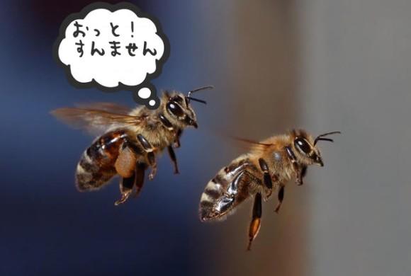 ミツバチは仲間に衝突すると「おっと!」と声を上げる(英研究)