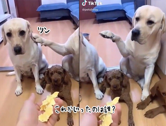 犯人は誰?飼い主の問い詰めに対する犬の反応が面白い