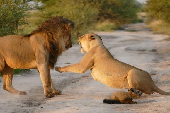 例え気まぐれでもそこには母性愛があった。傷ついた子ギツネをオスライオンから救ったメスライオン(ボツワナ)
