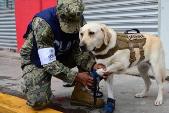 メキシコで多くの命を救ったのは海軍救助犬部隊の勇敢なラブラドールだった