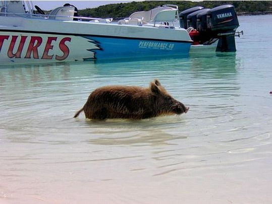 swimming_pigs_18
