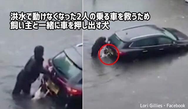 洪水で身動きできない人を助ける為、水浸しになりながら飼い主と共に車を押す勇敢な犬