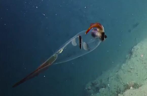 多様性ってすごい!透明ボディで顔はフクロウ、キタノクジャクイカが優雅に泳いでいる姿が撮影される