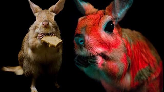 暗闇で体が光るトビウサギの生態が明らかに