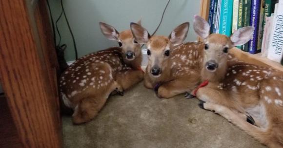 「入ってます」ハリケーンが接近中のある日、3匹の小鹿たちが家の中に入り込み部屋の隅で固まっていた件