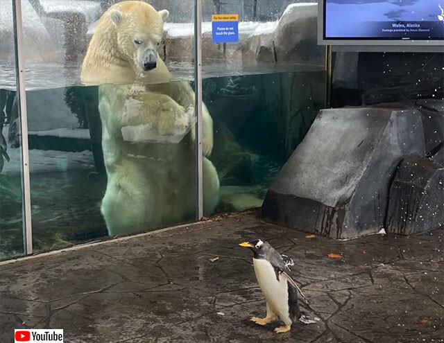 ペンギンの遠足、ホッキョクグマに会いに行く