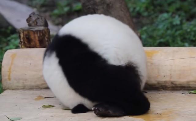 かまってもらいたいパンダ、丸くなって転がるの術を覚える