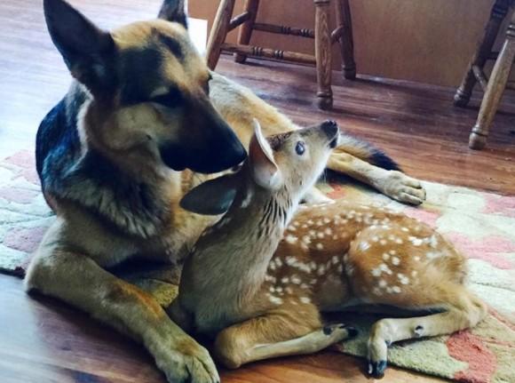 孤児となった子鹿を一生守り抜くことに決めたジャーマン・シェパード(アメリカ)