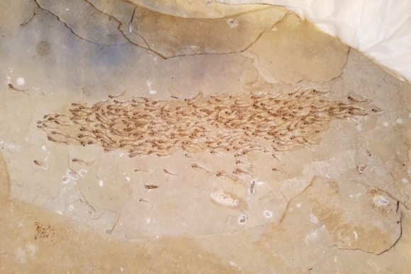 魚群リーチかな。5000万年前のすでに絶滅した魚の群れがそのまま化石の状態で発見される(米研究)