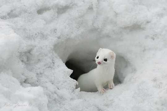 snow-weasel-1
