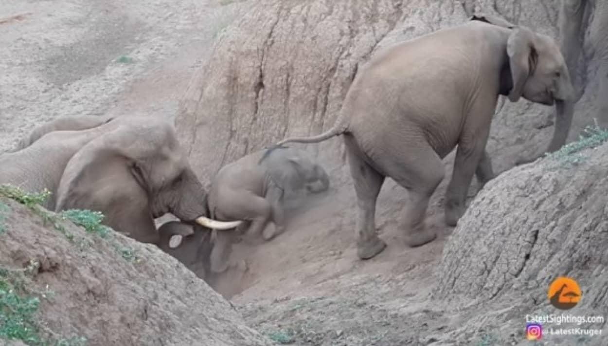 象のリーダーが赤ちゃん象を助ける姿に癒される