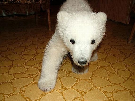 polarbearbabysaved-28