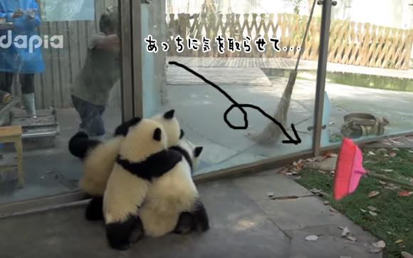 これがパンダテロか...パンダ部屋の掃除するスタッフVS子パンダ集団