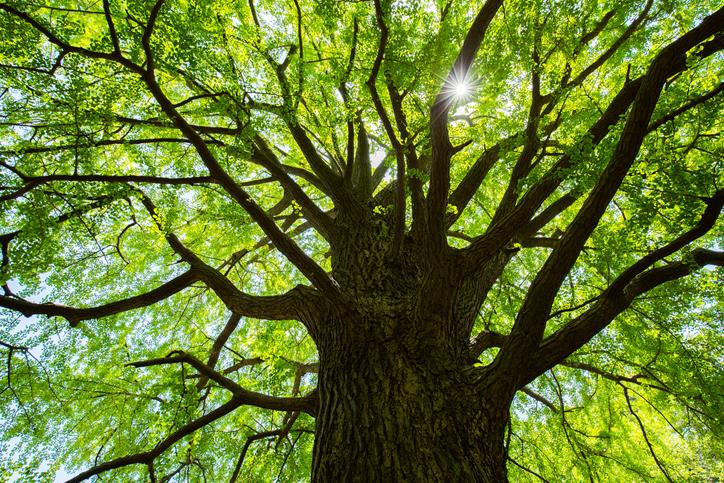 たった1本の樹木でも周辺の温度を下げてくれる。その2つの理由