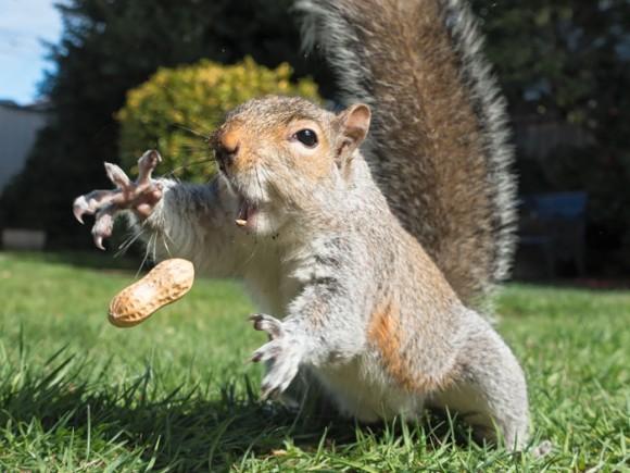 ピーナッツを拾うリス