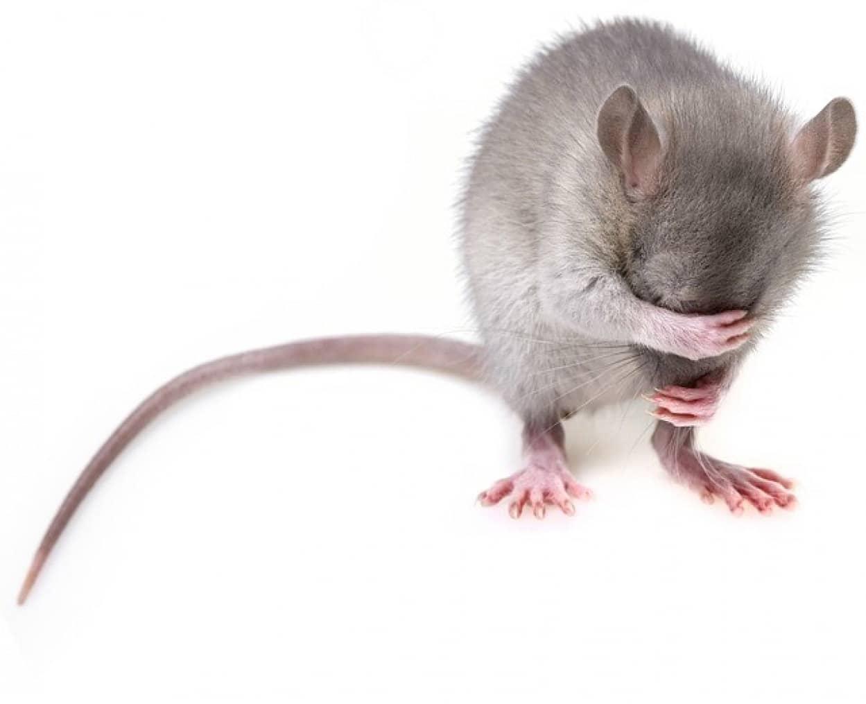 マウスは父親の精子を介してストレスを子孫に遺伝させていることが判明