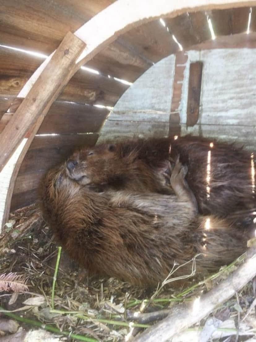 beaver4_e