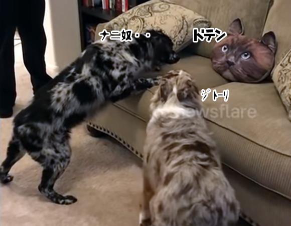 こ、これは・・・猫頭クッションに警戒態勢を敷く3匹の犬