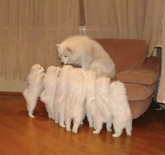 真っ白ふわふわ。サモエド犬の魅力にズームイン!