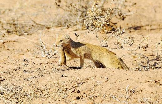 Yellow-Mongoose_1402343i
