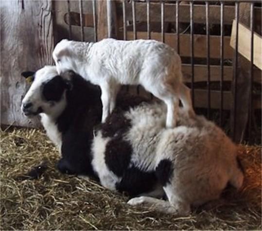 crazy_goats_19