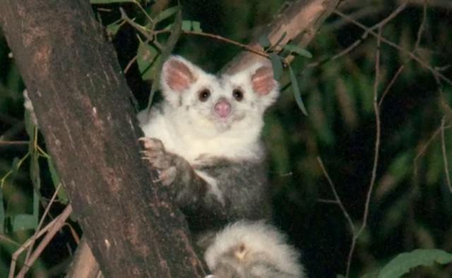 かわいいが増えてた!オーストラリアで新種のフクロムササビ2種が発見される